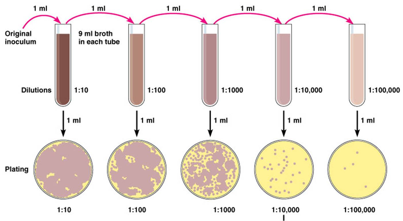 """isolation of pure cultures by dilution Techniques for isolation of pure cultures in this experiment you will be performing this """"dilution"""" of organisms in two different ways."""